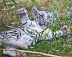 Les plus rares types de tigres du Bengale tous réunis au sein d'un parc américain. Le tigre blanc