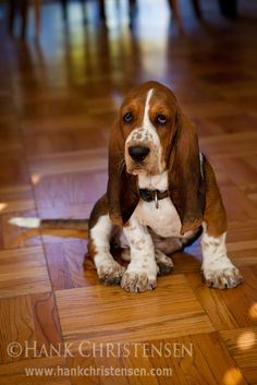 Basset Hound Puppy | by Hank Christensen