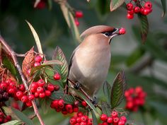 Waxwing { Birdwatching Magazine , Catagory winner 2011 Bird photo of the year competition} | Flickr - Photo Sharing!