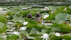 Otters swimming at Bosherston Lily Ponds