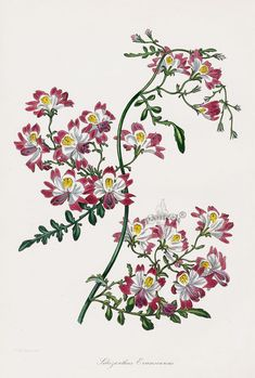 Schizanthus from Paxton Magazine Botany Antique Prints 1834