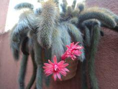 Canela de ema vellozia squamata flores y plantas exoticas