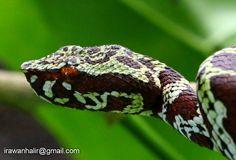 Broad-banded temple pit viper (Tropidolaemus laticinctus) - Sulawesi, Indonesia Pretty Snakes, Pit Viper, Reptiles And Amphibians, Venom, Exotic, Band, Temple, Art Ideas, Nature