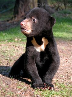 Adorable Sun bear cub. Sun bears are also impacted by palm oil plantations.