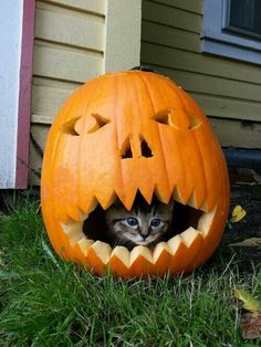 Pumpkin Kitty - These Animals Are Celebrating Halloween Better Than You - Photos I Love Cats, Crazy Cats, Cool Cats, Animals And Pets, Funny Animals, Cute Animals, Beautiful Cats, Animals Beautiful, Kittens Cutest