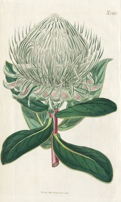 Broad-leaved Great-flowered Protea, Curtis Botanical Prints 1787-1826