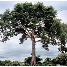 Flora Venezolana: ARBOL LA CEIBA
