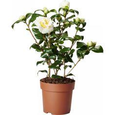 Camellia japonica 'White'