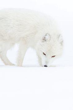 Arctic Fox by Dario Mesonero-Romanos Animals Are Beautiful People, Majestic Animals, Beautiful Creatures, Fantastic Fox, Arctic Fox, Arctic Animals, Foxes Photography, Wild Creatures, Cute Fox