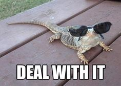 Bearded dragon funny
