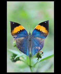 ~~Orange Oakleaf or Dead Leaf (Kallima inachus) butterfly by davolly59~~