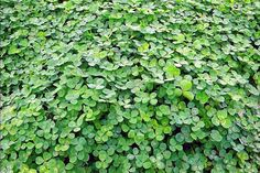 Clover Patch in My Yard