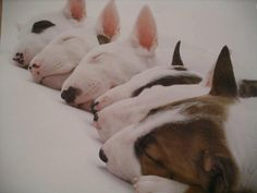get BULL Terrier free stickers Chien Bull Terrier, Mini Bull Terriers, Bull Terrier Puppy, English Bull Terriers, Terrier Puppies, Retriever Puppies, Terrier Breeds, Dog Breeds, I Love Dogs