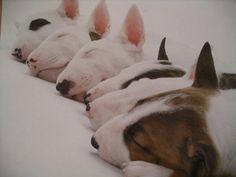 bullterrier puppys