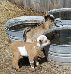 look at those adorable baby goats! Cute Baby Animals, Farm Animals, Animals And Pets, Beautiful Creatures, Animals Beautiful, Pigmy Goats, Nigerian Dwarf Goats, Cute Goats, Mini Goats