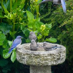 Western Bluebirds    (by jimheid)