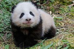 Wen Yu _ Giant Panda | WWF-Canada