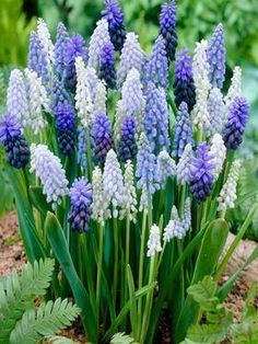 Muscari Mix: multi-hued mix blooms mid to late spring in shades of blue, violet, purple and white. - See more at: https://www.bluestoneperennials.com/BMUMI.html?id=5PU3G7BD&mv_pc=1681#sthash.rWNTkUoP.dpuf