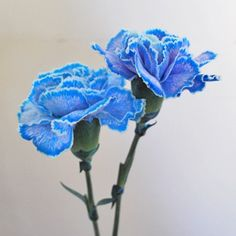 Bella S Blue Tinted Carnation Flowers Are Some Of The Most Long Lasting Whole Available