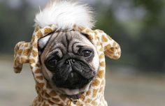 This combines two of the cutest things...pugs and giraffes!
