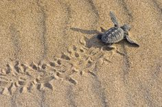 sea turtle baby heading to the water