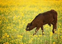 """""""How Now Brown Cow"""" by Longhorndave on sytes.org"""