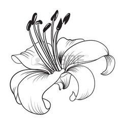 flor de lis lirio blanco aislado en un fondo blanco tarjeta con flores de - Lily Coloring Pages