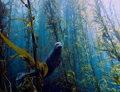 Retrato de una tímida foca gana concurso de fotografía submarina  - Harbor seal (Phoca vitulina) in a kelp forest at Cortes bank, near San Diego, CA.( by  Kyle McBurnie)