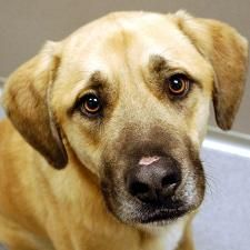Dakota. Handsome 2 year old shepherd mix. Available for adoption at ARL, Des Moines, IA.
