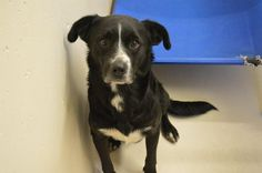 09/21/15-SUPER URGENT -   Speaking Up For Those Who Can't September 18 ·     Dave is a male 1-2 years old  FULLY VETTED!!!  Kennel A6 $51 to Adopt ADOPT/RESCUE/FOSTER  Located at Odessa, Texas Animal Control. Must have a valid Drivers License and utility bill with matching address to adopt. They accept Credit Cards, cash or checks. We ARE NOT the pound. We are volunteers who network these animals to try and find them homes. Please send us a PM if we can answer any questions for you.  FEES…
