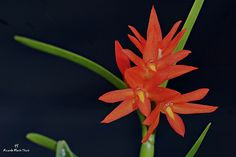 Orchid: Brightly red-colored Scaphyglottis imbricata from Costa Rica - Flickr - Photo Sharing!