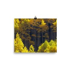 Photo paper poster with beautiful aspen trees in autumn.