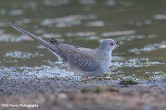 Diamond Dove (Geopelia cuneata) - Parrys Lagoon, Western Australia
