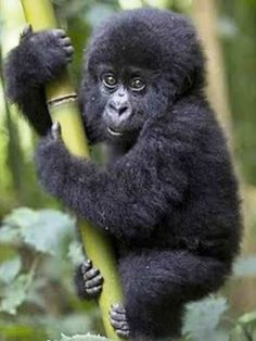 Baby gorilla. Can I come home with you? I would spoil you silly lil fella. :-)