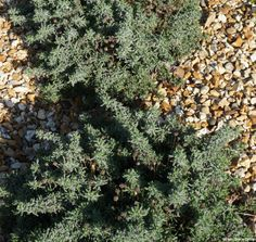 Santolina hedging in gravel garden