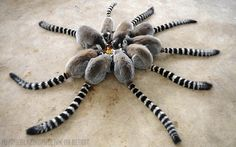 The only primates who live in female dominated societies @Earth_Pics: Not a spider. Lemurs