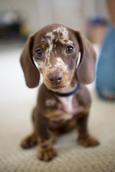 Chocolate Merle #Dachshund #Dogs #Puppy