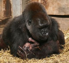 The moment a 200 lb gorilla cradles her newborn baby seconds after giving birth