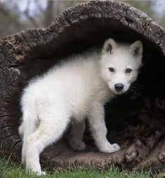Wolf Pup looks for his Mommy Wolf. Wolf Photos, Wolf Pictures, Beautiful Wolves, Animals Beautiful, Fantasy Wolf, Wolf Spirit Animal, Wolf Love, Wild Wolf, Tier Fotos
