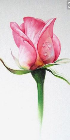 Ideas For Drawing Rose Pencil Watercolor Painting Watercolor Rose, Watercolour Painting, Painting & Drawing, Drawing Drawing, Drawing Faces, Arte Floral, Botanical Art, Botanical Illustration, Pencil Drawings