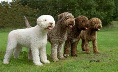 Lagotto Romagnolo, such an amazing breed!!! so smart and beautiful! love mine!