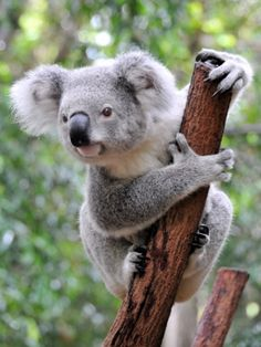 Interesting koala facts from Sydney Australia. Why the koala bear is not actually a bear and learn how they care for their little baby cubs, and of course, why they sleep so much. Cute Baby Animals, Animals And Pets, Funny Animals, Zoo Animals, Beautiful Creatures, Animals Beautiful, Araquem Alcantara, Things To Do In Brisbane, Tier Fotos