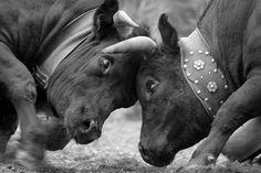 Combat de reines, Valais Cattle, Mammals, Switzerland, Elephant, Creatures, Horses, Mountains, Cows, Recherche Google