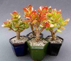 Obrazek Bonsai Plants, Cute Pokemon, Gardening, Vases, Garden, Flowers, Succulent Plants, Plant, Cactus