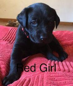 Labrador Retriever puppy for sale in LAKE STEVENS, WA. ADN-65141 on PuppyFinder.com Gender: Female. Age: 5 Weeks Old #labradorretriever