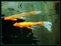 Butterfly Koi at Gladys Porter Zoo by dog.happy.art, via Flickr