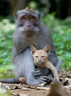 A long tailed macaque monkey has been spotted in a forest in the Ubud region of Bali, Indonesia, protectively nuzzling and grooming a ginger kitten.