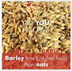 how to cook rolled barley for horses