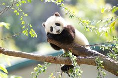 Mr. Wu looks my way.... by Rita Petita | Flickr - Photo Sharing!  Xiao Liwu was looking his best on Sunday. He spent quite a bit of time up in the tree before heading down to play with his Momma Bai Yun