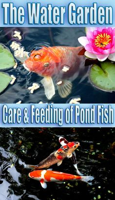 Keeping fish is a natural part of having a water garden. In addition to their appeal as pets they are a part of your pond's ecosystem. In order to maintain the health of your fish some basic precautions are necessary. It is important to keep the right amount of fish for the pond size, feed properly, and monitor the water. Since a backyard pond is not a natural environment it is the responsibility of the pond owner to govern the conditions... #garden #fish #watergarden
